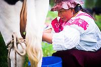Indiginous Cayambe Lady milking her cows at Zuleta Farm, Imbabura, Ecuador, South America