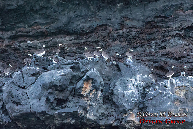 Brown Booby Nests