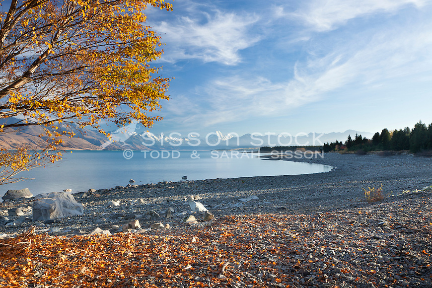 Autumn leaves at Lake Pukaki looking down towards Mt Cook and the Southern Alps, South Island, New Zealand.