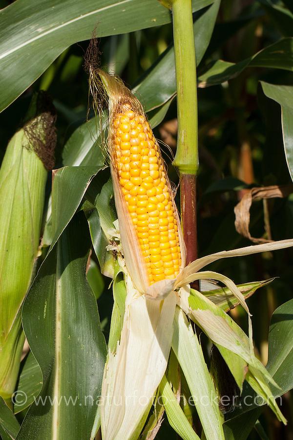 Mais, Maiskolben, Maisanbau, Mais-Anbau, auf Feld, Acker, Zea mays, maize, corn, mealie, corncob, corn cob, maize cob, maize-cob, corn ear, corn-on-the-cob