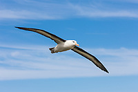 Black-browed albatross in flight, Steeple Jason Island in the Falklands.