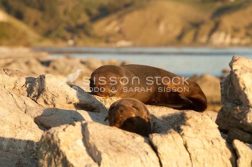 New Zealand Fur Seal, New Zealand - stock photo, canvas, fine art print