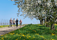 Germany, Baden-Wuerttemberg, Markgraefler Land, town Muellheim, district Feldberg: hiking through vinyards and meadows with blooming fruit trees | Deutschland, Baden-Wuerttemberg, Markgraefler Land, Muellheim, Ortsteil Feldberg: Wanderung durch die Weinberge, die bluehenden Streuobstwiesen und Obstplantagen