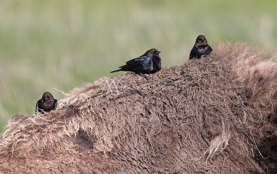 Brown-headed cowbirds often ride on the backs of Yellowstone's bison.