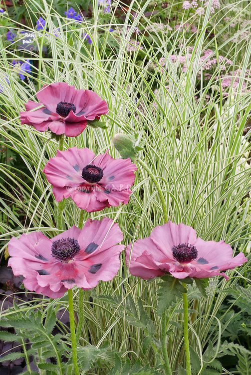 Poppy Papaver orientale 'Patty's Plum', Miscanthus 'Morning Light' perennials ornamental grass