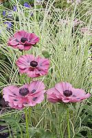 Poppy Papaver orientale 'Patty's Plum', Miscanthus 'Morning Light' perennials ornamental grass