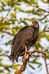 Black Vulture (Coragyps atratus), Pantanal, Mato Grosso, Brazil