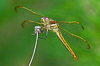 389120002 a wild female golden-winged skimmer dragonfly libellula aurepennis perched on a dry flower stalk san jacinto national forest san jacinto county texas