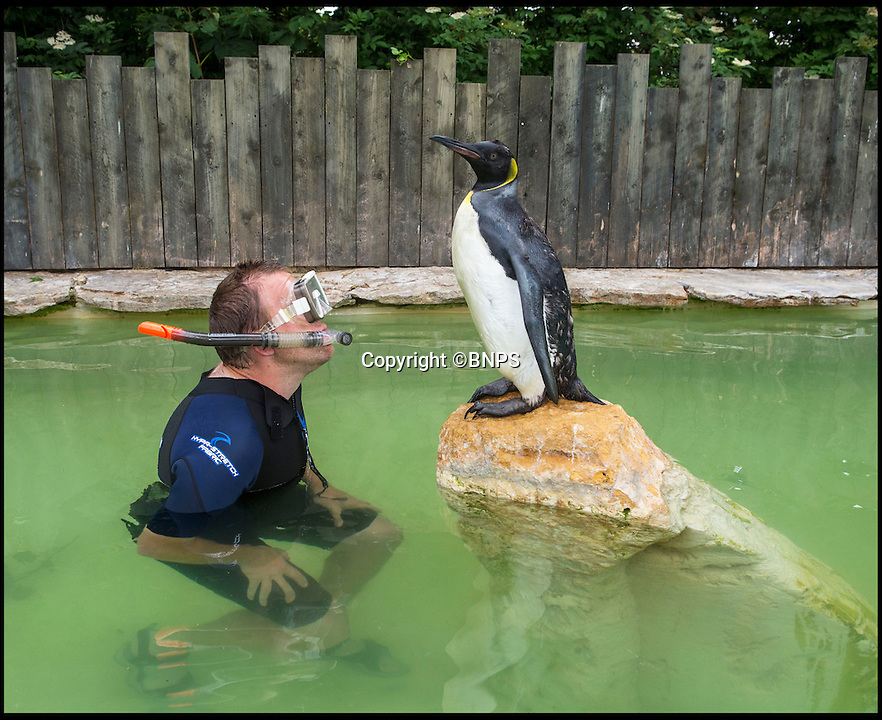 BNPS.co.uk (01202 558833)<br /> Pic: PhilYeomans/BNPS<br /> <br /> Alistairs previous attempts to teach Charlotte had proved unsuccessful.<br /> <br /> Charlotte the Penguin finally learns to swim.<br /> <br /> Keeper Alistair Keen at the Birdland sanctuary in the Cotswold's has finally managed to teach aquaphobic baby penguin Charlotte how to swim.<br /> <br /> The 10 month old hand reared chick had never dipped her toes in the attractions large pool, and Alistair's initial attempts to introduce her to the watery enviroment resulted in her splashing around in panic and racing to the side as fast as she could.<br /> <br /> But now after gentle cajoling the flightless bird has finally realised she is a penguin and now Alistair's main problem is how to get her out of the pool.