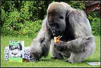 Nico the grumpy gorilla celebrates 56th birthday.