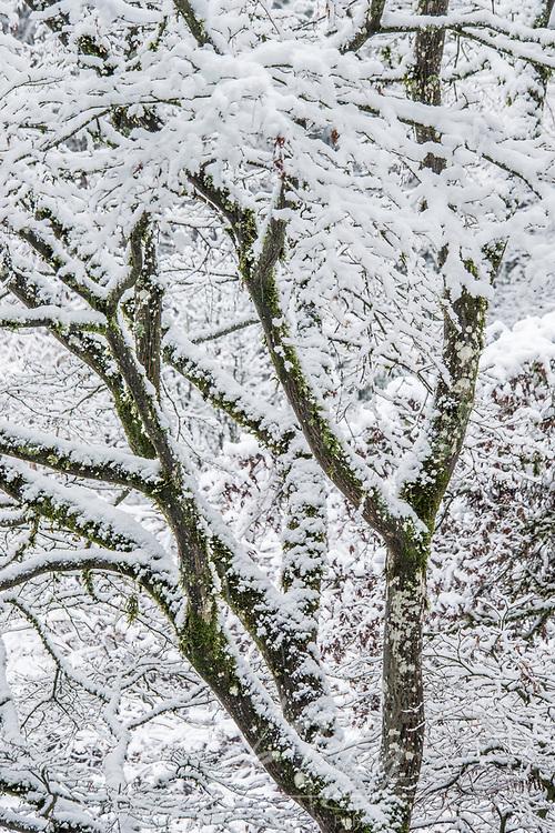WA, Seattle, Arboretum, Snowy Tree