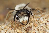 Weiden-Sandbiene, Portrait Männchen, Auen-Sandbiene, Auensandbiene, Weidensandbiene, Sandbiene, Sandbienen, Andrena vaga, Andrena ovina, Grey-Backed Mining-Bee, male
