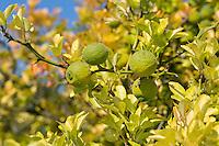 Bitter-Orange, Bitterorange, Früchte am Baum, Zitrusfrucht, Citrusfrucht, Zitrusfrüchte, Citrusfrüchte, Poncirus trifoliata, Citrus trifoliata, Trifoliate Orange, Orange amère, Poncir