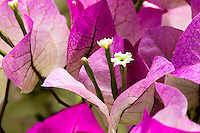 Bougainvillea flowers and pink bracts 'Imperial Thai Delight' from Vista Farms