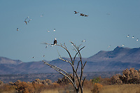 Bald Eagle, Bosque del Apache NWR, New Mexico
