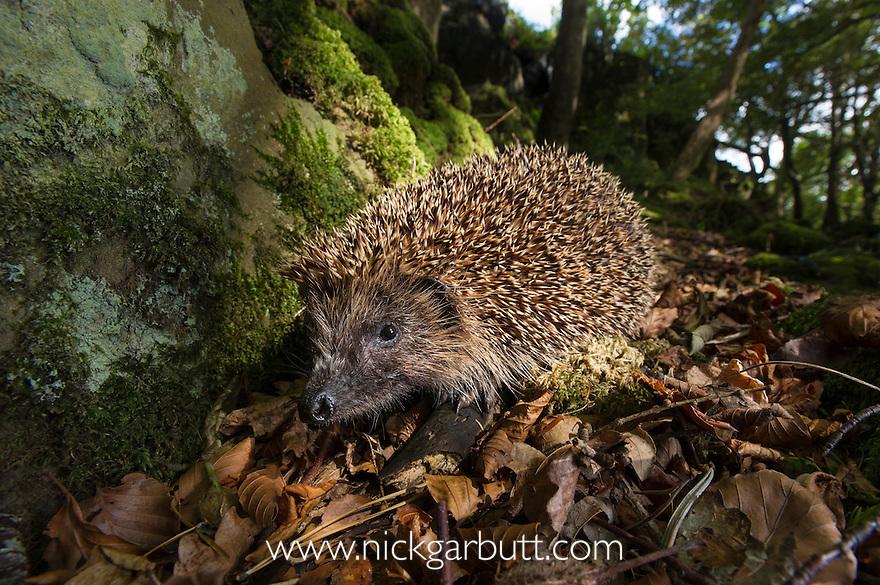 European or Common Hedgehog (Erinaceus europaeus) foraging in leaf litter. Deciduous woodland, Isle of Mull, Scotland.
