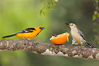 561820083 a wild altimara oriole icterus gularis and a golden-fronted woodpecker melanerpes aurifrons argue over an orange while perched in a tree at bentsen state park hidalgo county texas united states