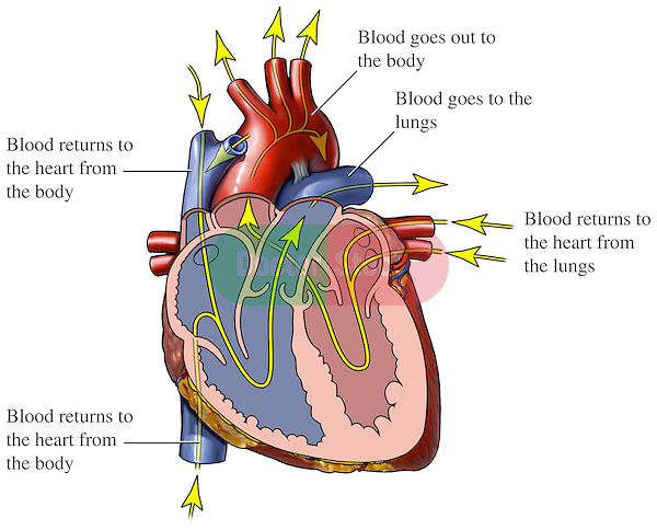 blood flow through the heart | doctor stock, Muscles
