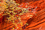 Colorful fall leaves against the red canyon walls in Utah's desert southwest.