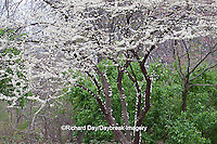 65021-034.07 White Redbud Tree (Cercis canadensis 'Alba') blooming in spring, MO