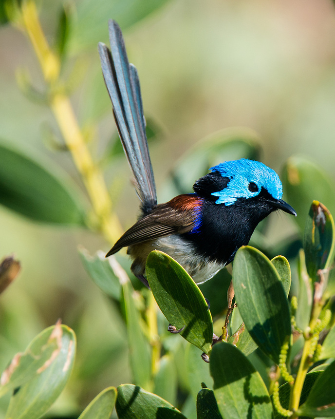 Variegated Fairy-Wren, Ballina, New South Wales.