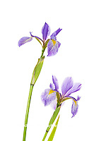 30099-00502 Blue Flag Irises (Iris versicolor) (high key white background) Marion Co. IL