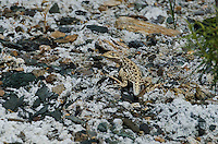 437880017 a wild juvenile long-nosed leopard lizard gambelia wislizenii sits on a rocky outcrop along fish slough road in mono county california