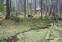 """Ipsut Creek Ranger Cabin is a historic structure situated in the Carbon River Rainforest of Mount Rainier National Park, Washington State. This image was taken before record flooding and windstorms of November-December, 2006 heavily damaged the area and contrasts with an image taken at this same location on April 6, 2007. See """"Ipsut Creek Ranger Cabin Survives"""" under image group, """"Mt. Rainier Nat'l. Park Flood and Windstorm Damage"""". ....Photographed on digital media."""