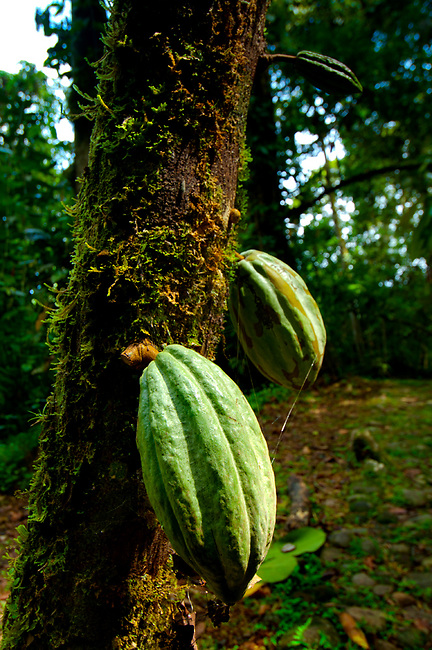 Costa Rica, Puerto Viejo de Sarapiqui, Cocoa Pods Growing On Tree, Chocolate, Tirimbina Biological Reserve