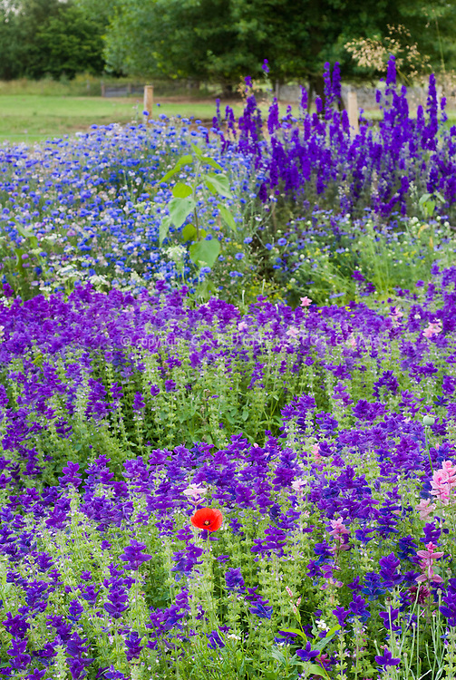 Blue and purple colored flowered cutting garden with heirloom flowers, Salvia, delphinium, bachelor buttons Centaurea, with a single red poppy (Papaever)