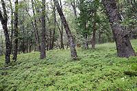 Black Oaks Trees, Sierra Foothills,CA.