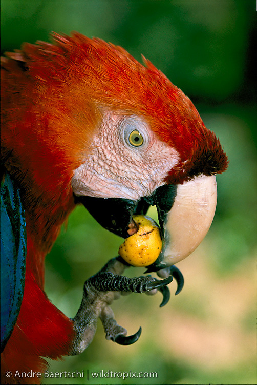 Scarlet Macaw (Ara macao) eating fruit, lowland tropical rainforest, Manu National Park, Madre de Dios, Peru.