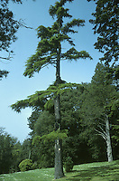 Deodar Cedrus deodara (Pinaceae) HEIGHT to 36m <br /> Broadly conical evergreen with drooping leading shoot on the tapering crown.. BARK Almost black on old trees, fissured into small plates. BRANCHES With drooping tips. LEAVES In whorls of 15–20 on short lateral shoots, or in spirals on larger twigs. Needles are 2–5cm long, shortest on lateral shoots, dark green with pale-grey lines on either side. REPRODUCTIVE PARTS Male flowers purplish, turning yellow with autumn pollen release, to 12cm long. Mature female cones are solid and barrel-shaped, to 14cm long and 8cm across, growing only on older trees. STATUS AND DISTRIBUTION Native of W Himalayas. Introduced into Britain in 1831 and widely planted in parks and gardens, where it can form a stately tree.