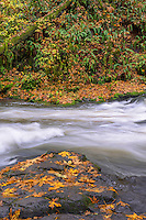 USA, Washington, Camas, Lacamas Park, Rain swollen Lacamas Creek with decaying bigleaf maple leaves, moss and ferns.