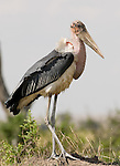 Marabou Stork in Serengeti National Park,.(Leptoptilos crumeniferus).August 20, 2006. Fitzroy Barrett