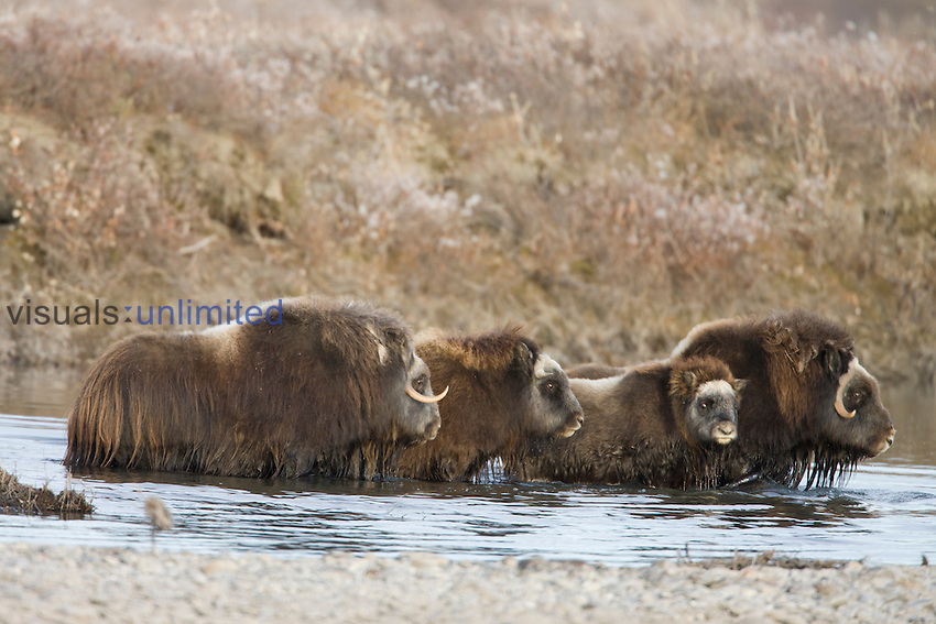 Muskox families wading in a river, ANWR, Alaska, USA