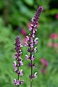 Salvia nemorosa 'Rose Queen', mid June.