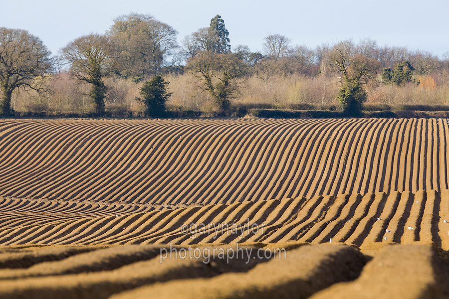 Newly formed potato ridges - Norfolk, March