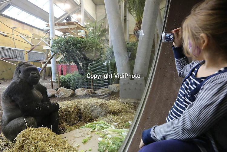 Foto: VidiPhoto..RHENEN - In aanwezigheid van zo'n 80 schoolkinderen en diverse genodigden, is donderdag het nieuwste project van Ouwehands Dierenpark in Rhenen geopend: Gorilla Adventure. De groep bestaat uit zes mannetjes, met als leider de twaalfjarige zilverrug Bitono. Tussen de twee enorme gorillaverblijven (binnen 1200 vierkante meter en buiten 2800 vierkante meter) is een tunnel gebouwd van elf meter hoog, van waaruit het publiek door diverse ramen de gorilla's kan zien. Zowel de grootte als de vormgeving van het project is uniek in de wereld..