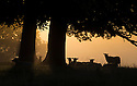 02/09/14 <br /> <br /> As summer continues into autumn, sheep are silhouetted by a misty golden dawn breaking over the Chatsworth estate in the Derbyshire Peak District.<br /> <br /> All Rights Reserved - F Stop Press.  www.fstoppress.com. Tel: +44 (0)1335 300098