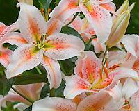 Oriental Lily Salmon Star