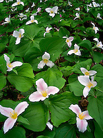 Trilliums in meadow. Oregon