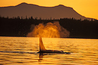 Orca Whale or Killer Whale (Orcinus orca) blowing.  Pacific Northwest.  Sunset.