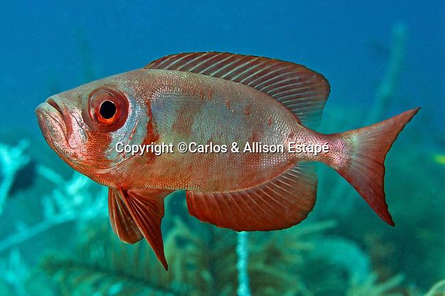 Priacanthus arenatus, Bigeye, Florida Keys