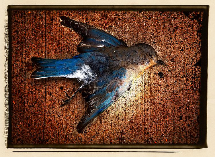 A dead bluebird