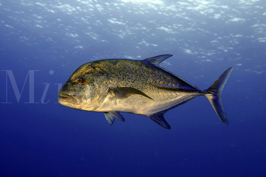 Also known as bluefin trevally, the blue jack, Caranx melampygus, has the ability to turn nearly black in an instant. This is likely evolved to enhance their proficiency as hunters of the reef. Hawaii.&#xA;<br />
