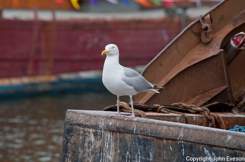 Seagull at Eyemouth Harbour, Scottish Borders.