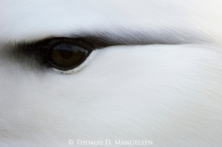 Closeup portrait of a black-browed albatross on Steeple Jason Island in the Falklands.
