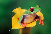 RED-EYED TREE FROG/Red-Eyed Leaf Frog..Central America. Captive..Agalychnis callidryas.