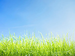 Closeup of young green lawn grass growing under bright blue sunny sky